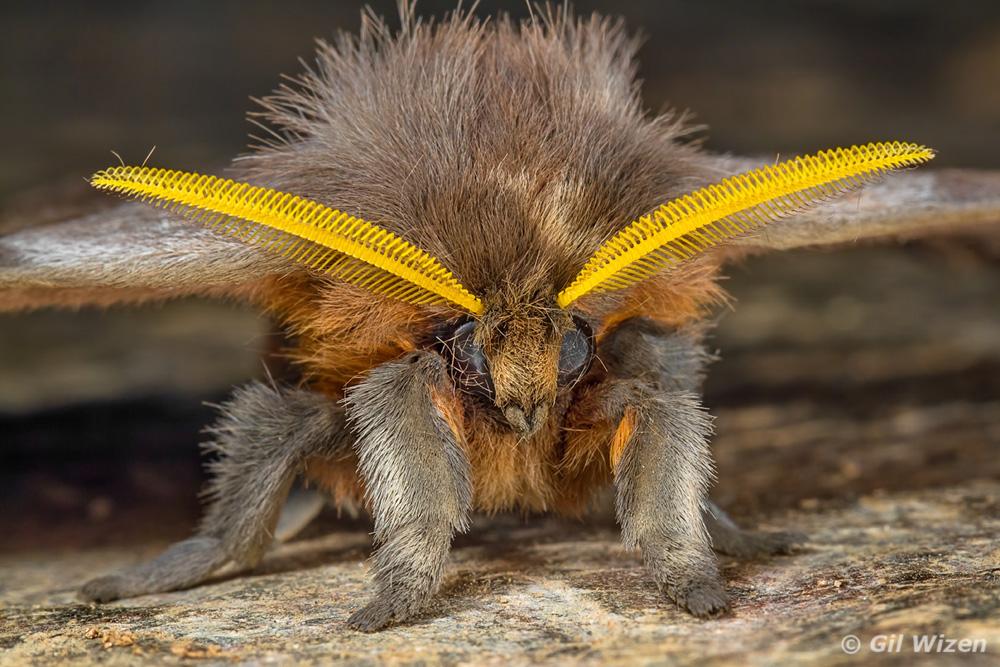 fuzzy bunny moth periphoba arcaei nash turley