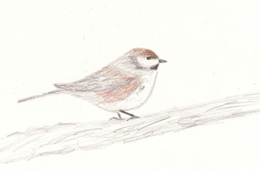 20140331 boreal chickadee