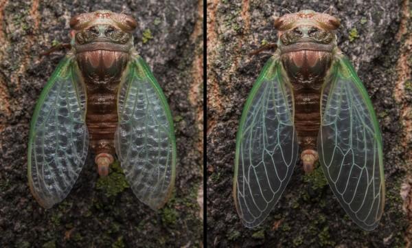 20140829 cicada 2