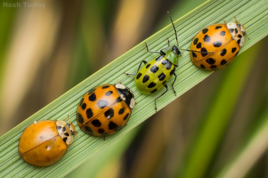 Multicolored asian lady beetles (Harmonia axyridis)