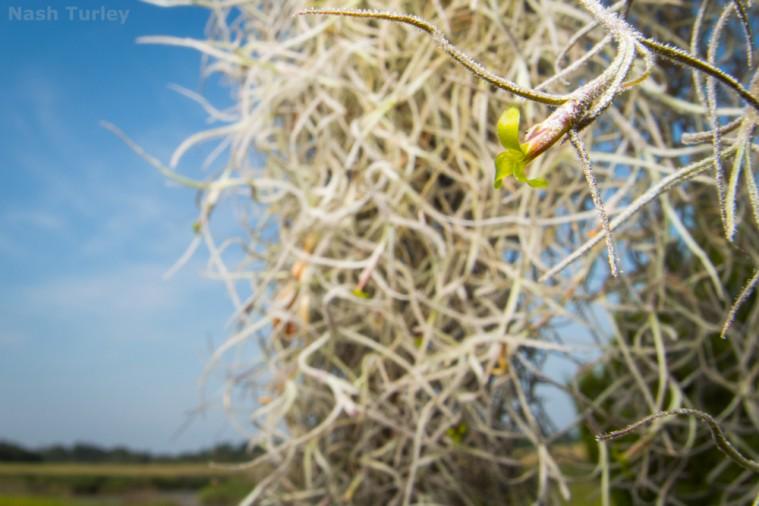 Spanish moss (Tillandsia usneoides)