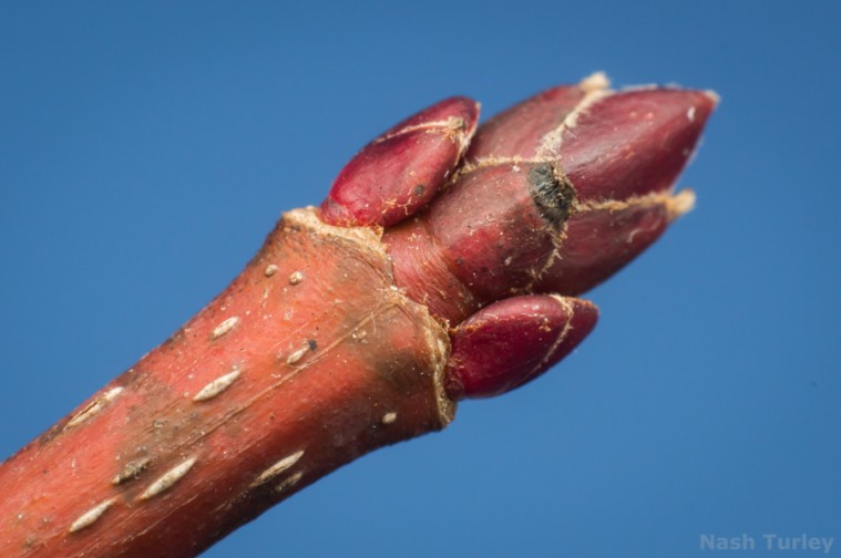 cornus bud