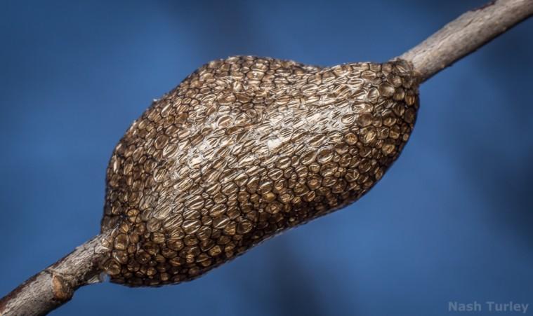 caterpillar eggs Malacosoma americana