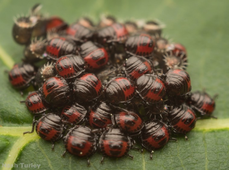 shield bug (Pentatomoidea) eggs babies nymphs