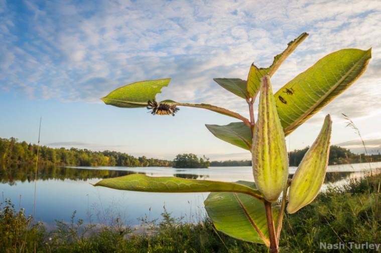 milkweed tussock caterpillar (Euchaetes egle)