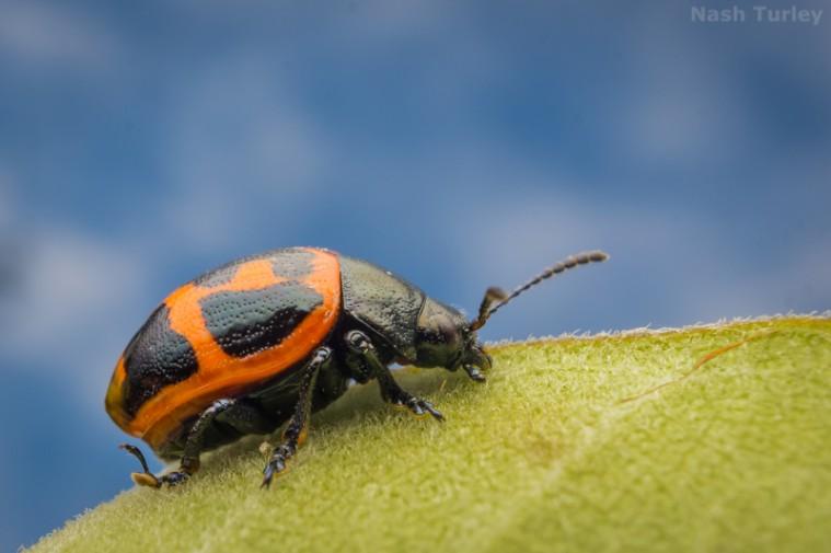 swamp milkweed beetle (Labidomera clivicollis)